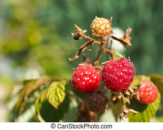 Close up of a raspberry fruit