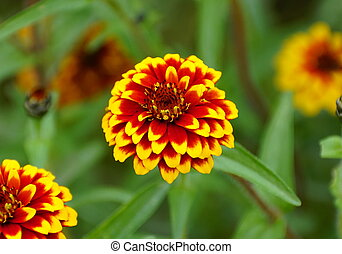 Close up of a red and yellow 'Jazzy Group' zinnia flower
