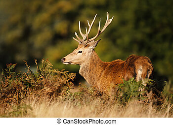 Close up of a red deer in autumn