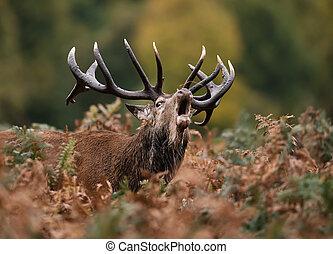 Red deer roaring during rut in autumn