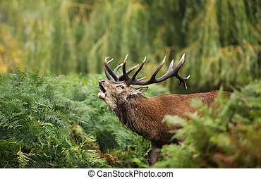 Close-up of a Red deer roaring