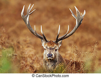 Close up of a red deer stag