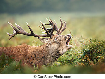 Close up of a Red deer stag calling