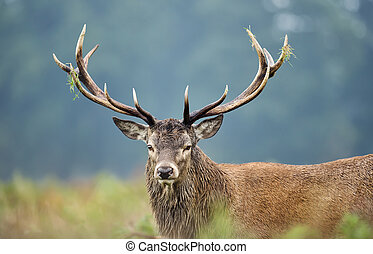 Close-up of a red deer stag during rutting season