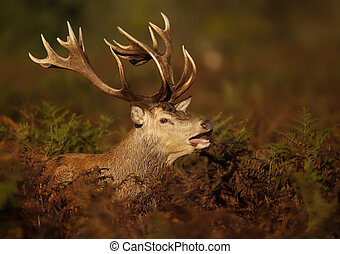 Close-up of a red deer stag roaring