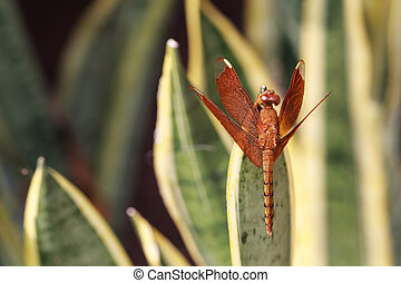 Close-up of a red dragonfly