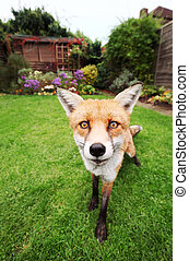 Close up of a Red fox in the garden with flowers