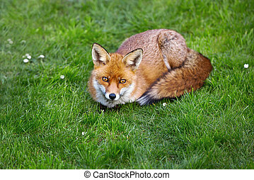 Close up of a red fox lying on the grass