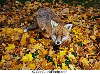 Close up of a Red fox standing in autumn leaves in back garden