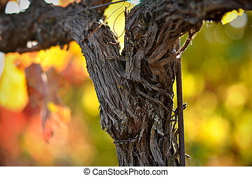 Vine - Close up of a Red Grape Wine Vine