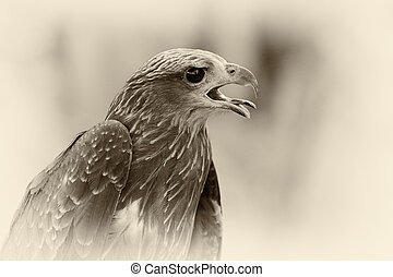 Close up of a red hawk on natural environment