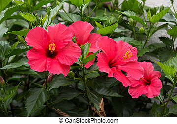 Close up of a red hibiscus flowers