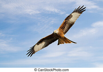 Red kite in flight against blue sky - Close up of a Red kite...