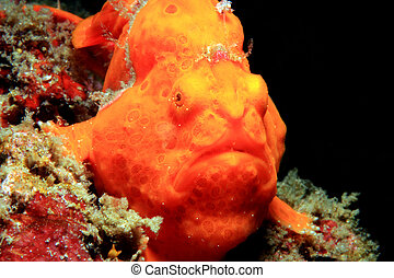 Close-up of a Red Painted Frogfish (Antennarius Pictus),...
