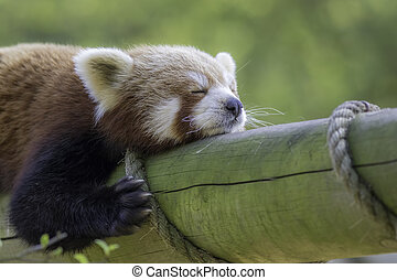 Close up of a red panda sleeping. Exhausted cute animal shown zonked out on a log.