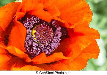 Close-up of a red poppy