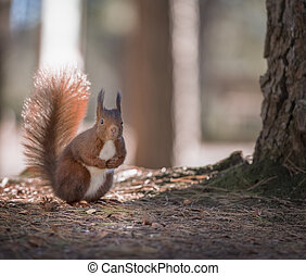Close-up of a red squirrel in the autumn forest