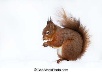 Close up of a Red squirrel in the snow