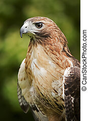 Hawk - Close up of a Red Tailed Hawk Buteo jamaicensis