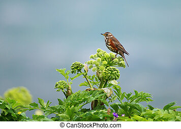 Close up of a Redwing perched on a flower