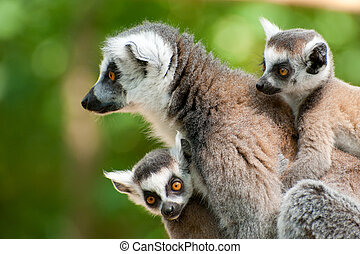 ring-tailed lemur with her cute babies - close-up of a ring-...