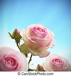 close up of a rosebush or rose tree with blue sky, roses are pink and green. with one bud