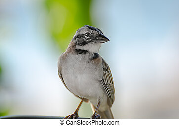 close up of a rufous collared sparrow perched
