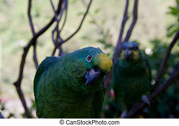 sceptical parrot - close-up of a sceptical parrot with his ...