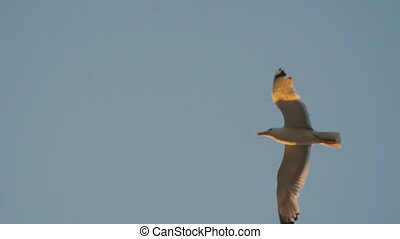 close-up of a seagull flying in the sky, Slow Motion