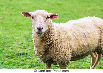 close up of a sheep standing on a lawn and looking straight ...