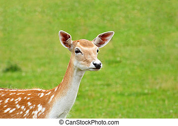 Close Up of a Sika Deer