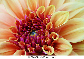 Close-up of a single orange, carroty dahlia bloom. The national flower of Mexico.