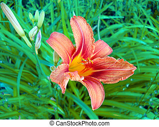 Close up of a single red day lily, Hemerocallis fulva, in full bloom