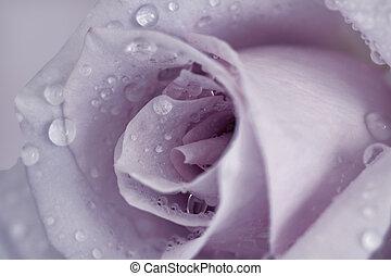 close up of a single romantic mauve rose