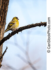 Close-up of a siskin, sitting in the tree in early spring