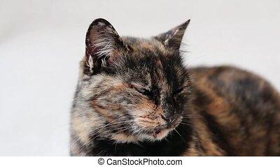 Close-up of a sleepy tortoiseshell cat lying down and adjusting itself.