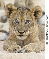 Close-up of a small lion cub lay down to rest on soft Kalahari sand