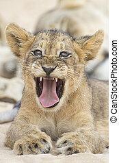 Close-up of a small lion cub yawning on soft Kalahari sand