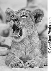 Close-up of a small lion cub yawning on soft Kalahari sand in artistic conversion