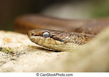 close up of a smooth snake