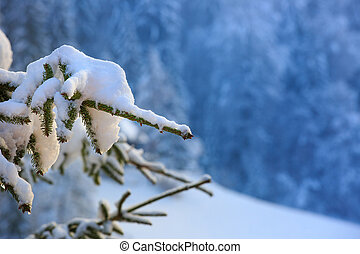 Close up of a snow covered spruce branch