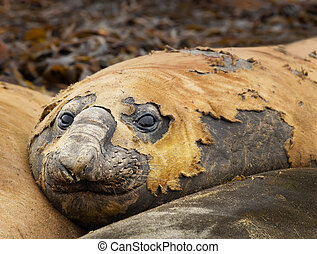 Close up of a Southern Elephant seal