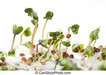 Close-up of a spicy daikon radish sprout