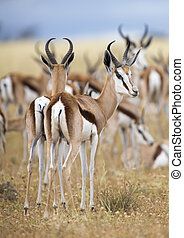 Close-up of a springbok standing in a herd looking back