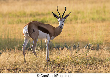 Close-up of a springbok standing on the short grass of a plain of the Kgalagadi