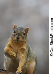 Close up of a squirrel looking at the camera.
