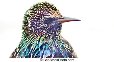 Close up of a Starling head isolated on white background