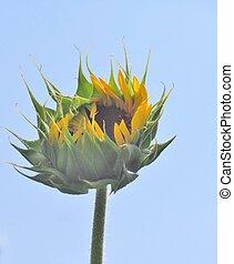 Close up of a Sun Flower