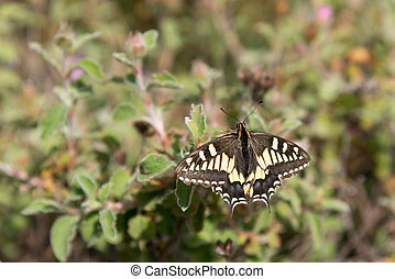 Close-up of a Swallowtail butterfly in Tuscany