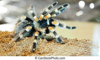 Close-up of a tarantula spider. Dangerous insect in a ...
